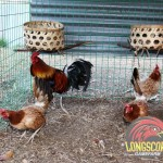 Ed Cavazo's pure butcher over imported Jimmy East butcher hens in the brood yard of LongScore Game Farm, Philippines