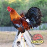 A locally bred Pure Yellow-Legged Kelso, Jimmy East strain