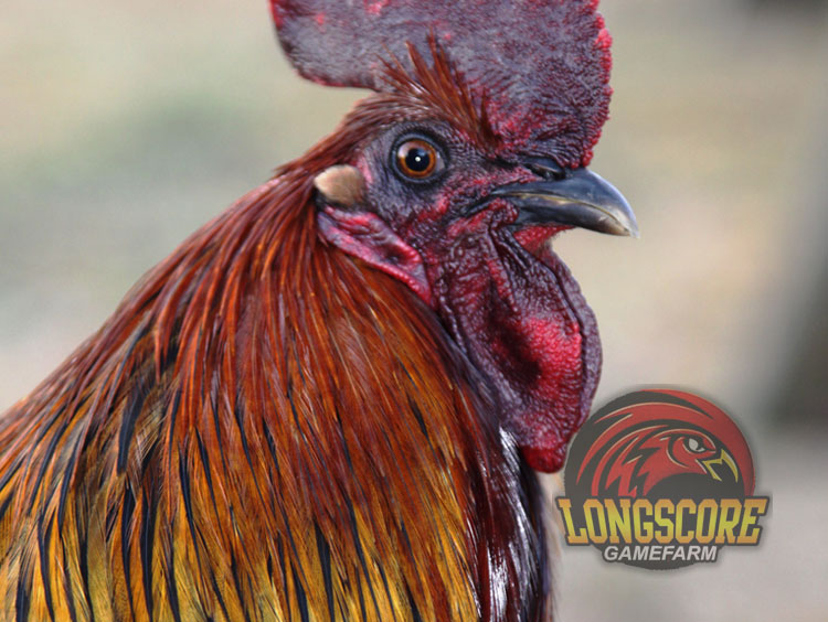 Brown Red Gamefowl http://longscoregamefarm.com/blood-lines/