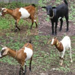 Goat hybrids for meat purposes